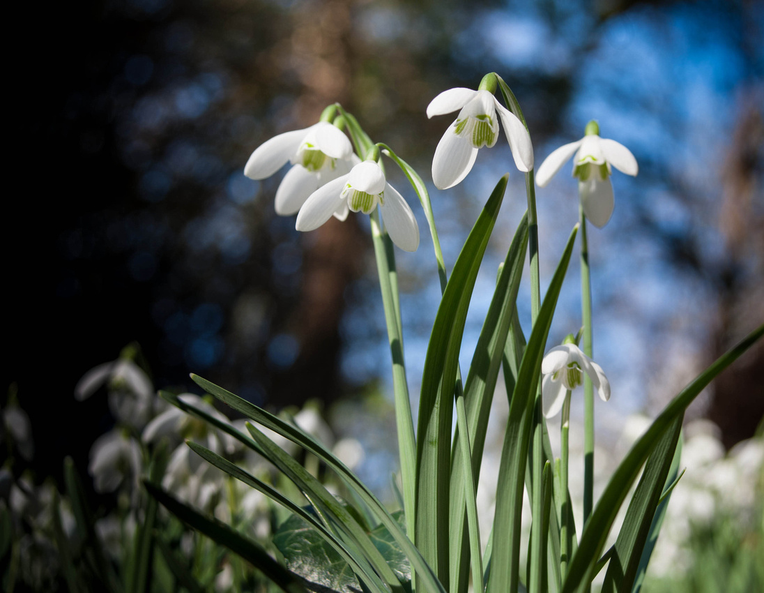 Snowdrops in the Grounds of Walsingham Abbey, Norfolk, UK